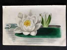 Twamley - Romance of Nature 1836 Hand Col Botanical Print. White Water Lily 13